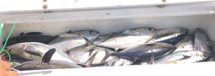 Albatross Fleet blackfin tuna in box
