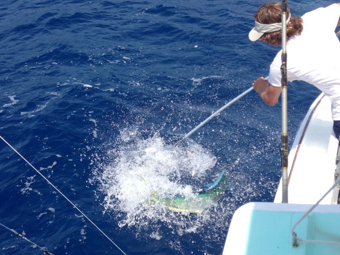 Albatross Fleet, Sumner gaffing mahi fighting