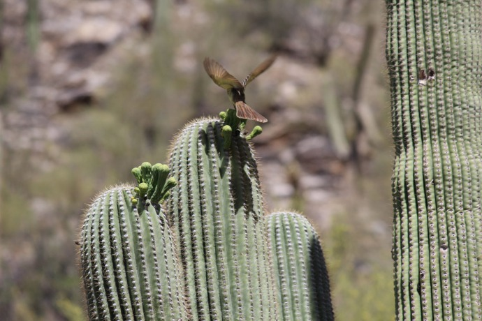 Sabino Canyon bird on cactus 2 wings