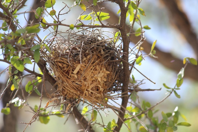 Sabino Canyon birds nest