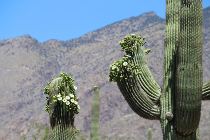 Sabino Canyon blooming saguaros