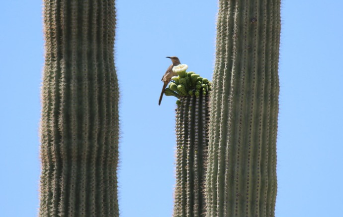 Sabino Canyon mockingbird & bloom