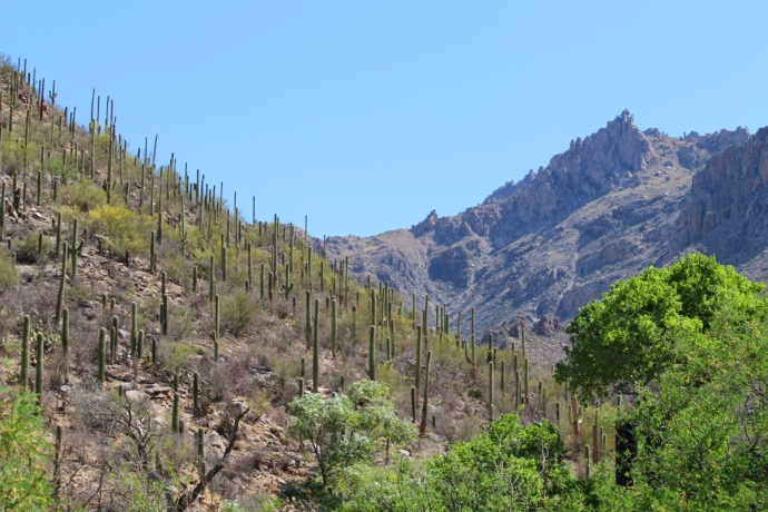 Sabino Canyon mountains & cactus