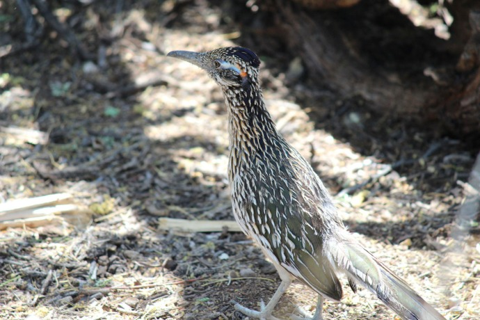 Sabino Canyon roadrunner