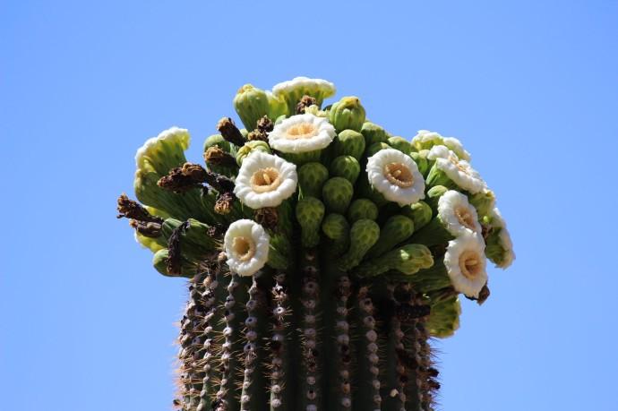 Sabino Canyon saguaro blooms clsup
