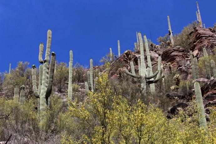 Sabino Canyon saguaro hori