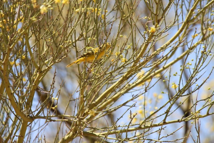 Sabino Canyon yellow bird & blooms