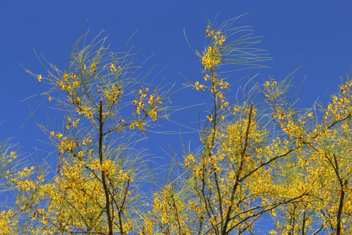 Sabino Canyon yellow tree blooms
