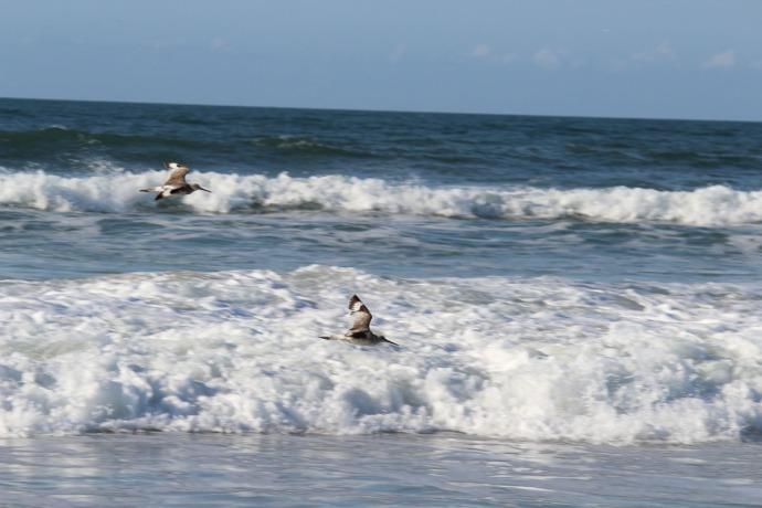 Frisco, bird pair flying, surf