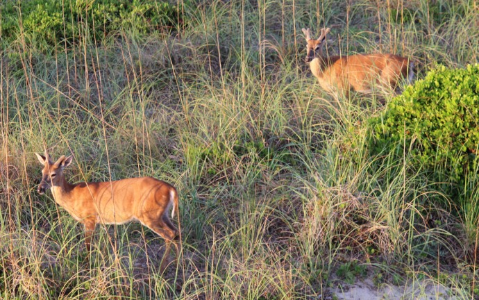 Frisco, Bucks in velvet sunrise