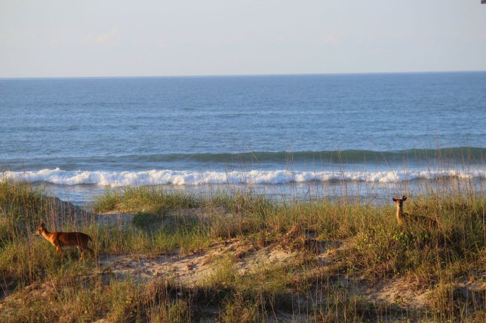 Frisco deer on ocean