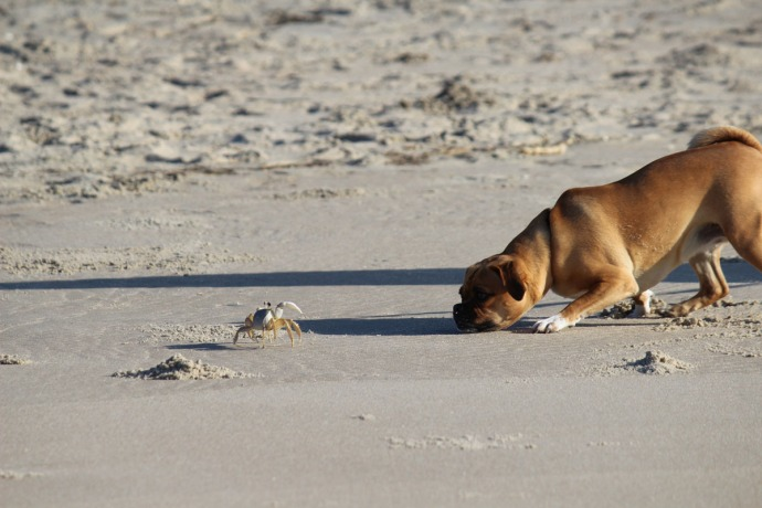 Frisco, Dog and crab standoff