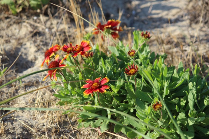 Frisco, Indian Blanket flower