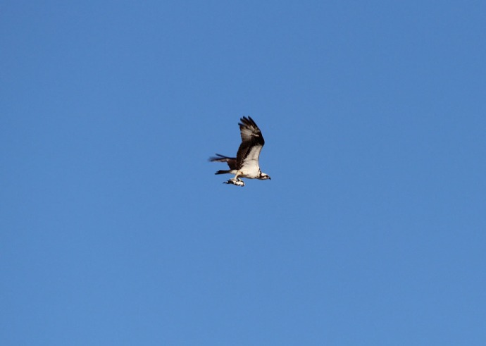 Frisco, Osprey with catch