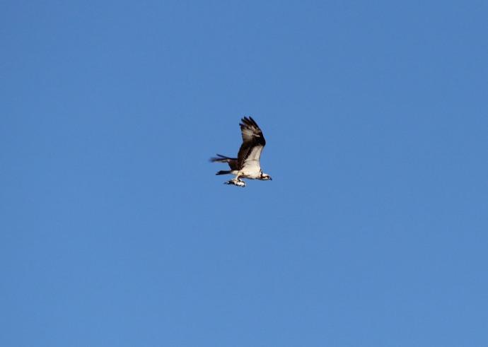 Frisco, Osprey with catch