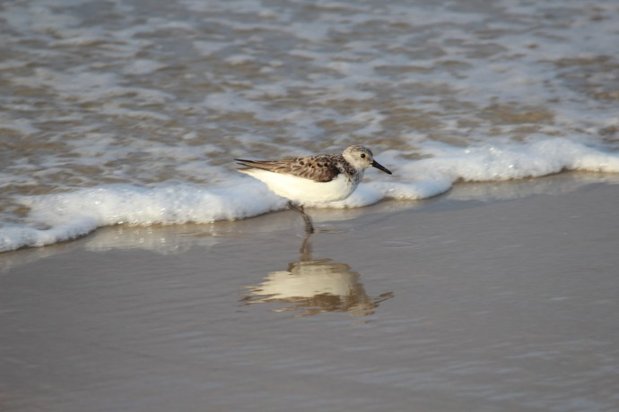 Frisco, Sandpiper reflection 2