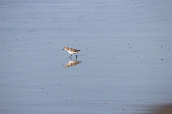 Frisco, sandpiper reflection