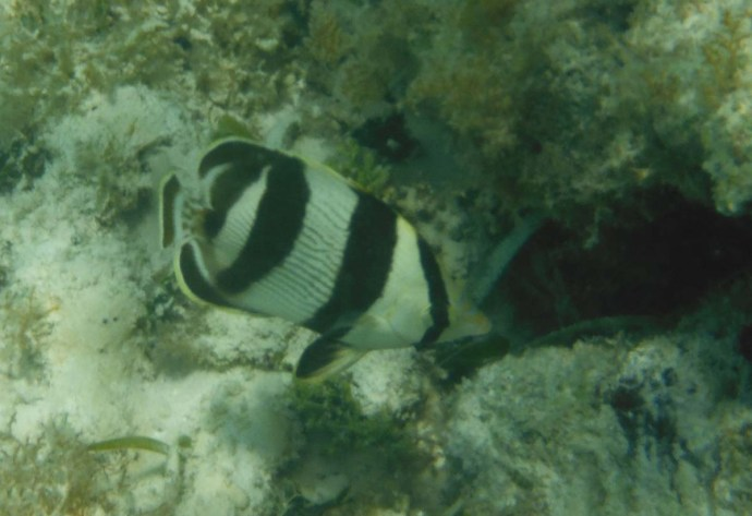 black and white striped butterfly fish