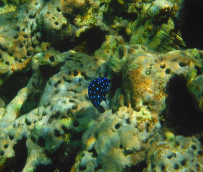 blue spotted neon fish