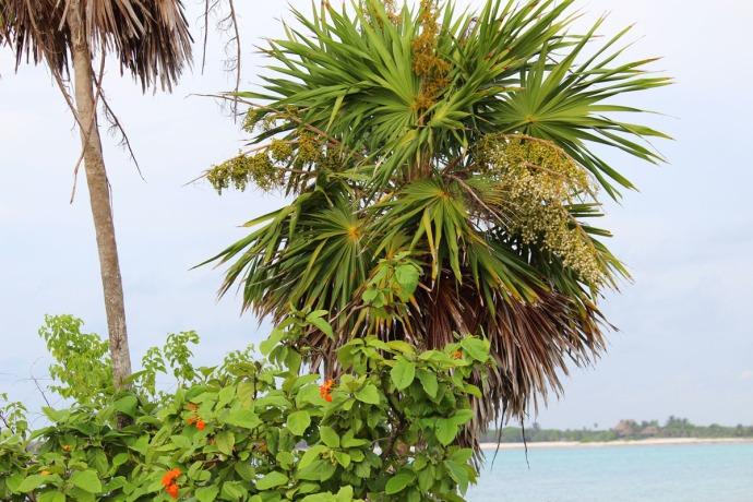 Chit tree