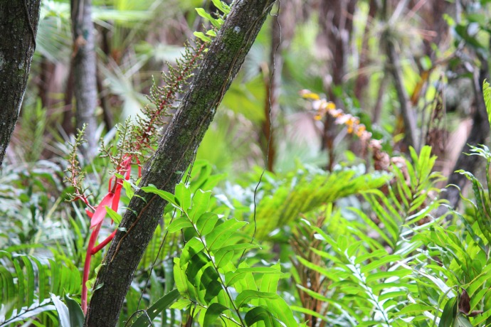 Dos Ojos bromliad bloom and fern