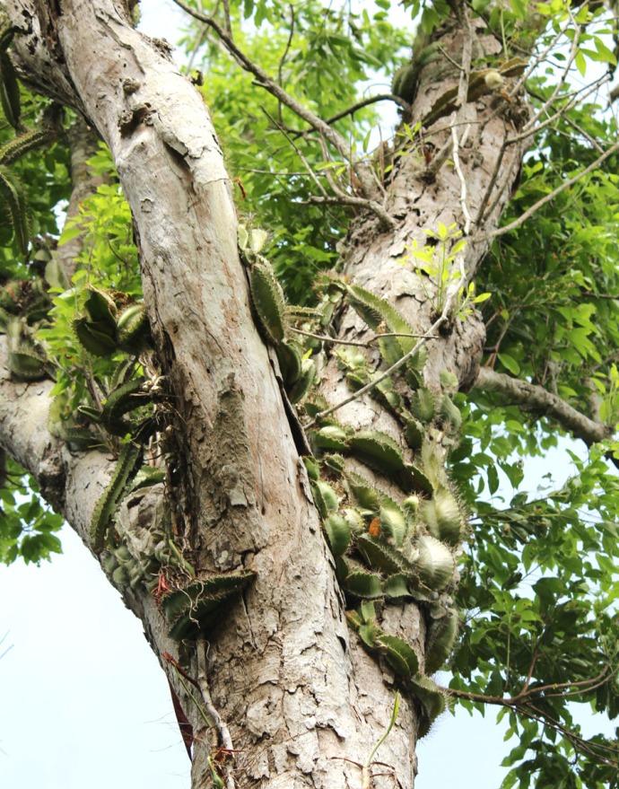 Dos Ojos cactus in tree