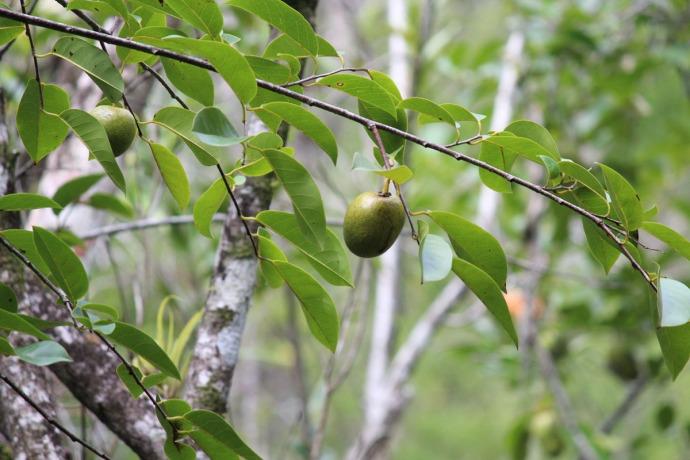 Dos Ojos fruit in tree