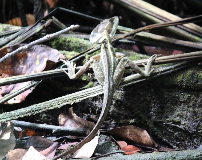 Dos Ojos tuluc lizard body