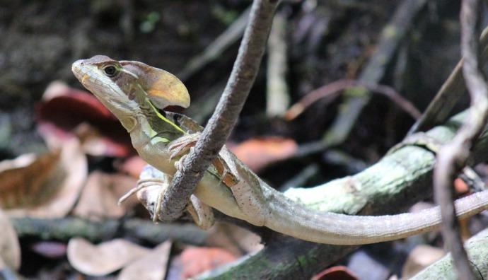 Dos Ojos Tuluke lizard front