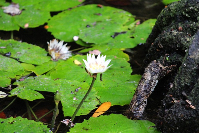 Dos Ojos water lily bloom