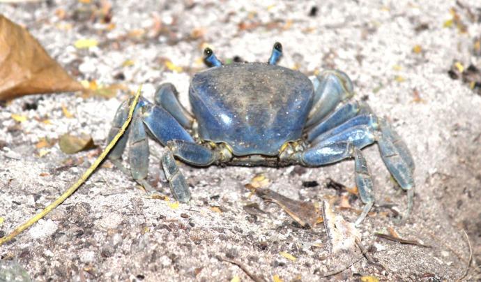 Fiddlers crab back