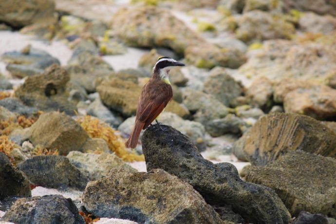 flycatcher on rocks