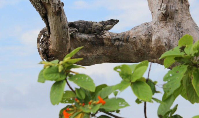 iguana on tree, bloom