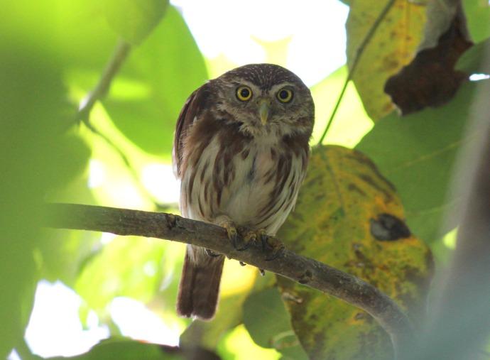 pygmy owl hunkered
