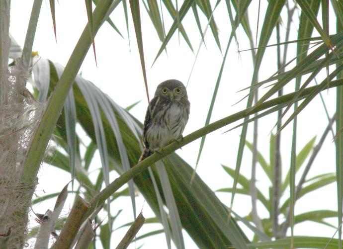pygmy owl on palm