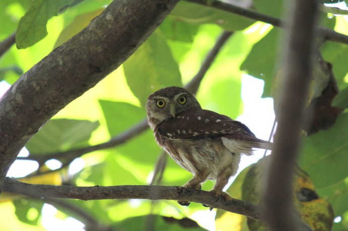 Pygmy owl standing