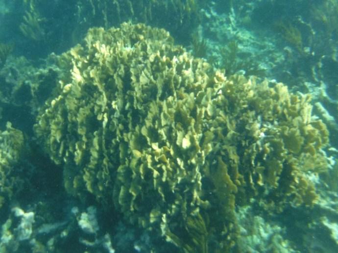 ruffled coral