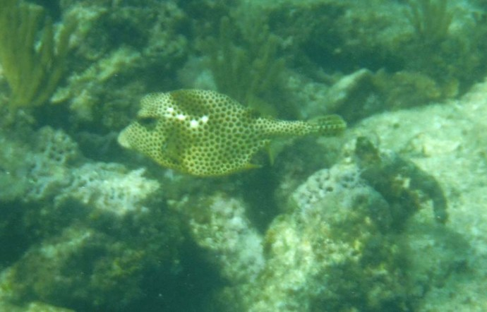 spotted smaller trunk fish