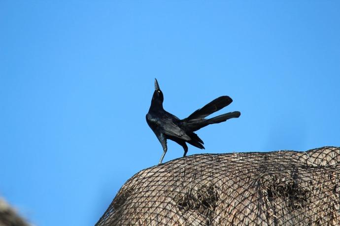 Uxibal blackbird