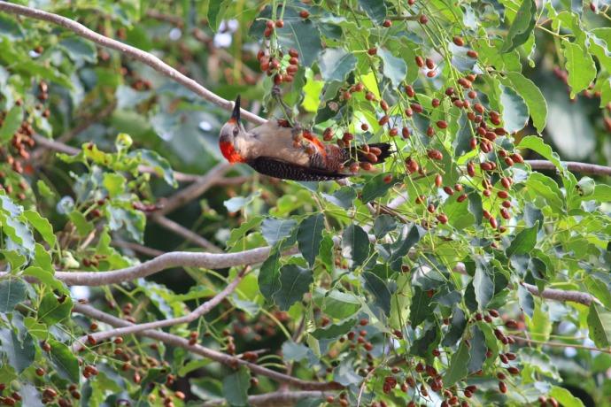 Woodpecker berry 1