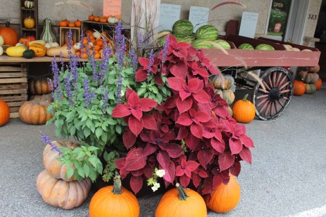 Amish Country, Beilers Farm flowers, pumpkins