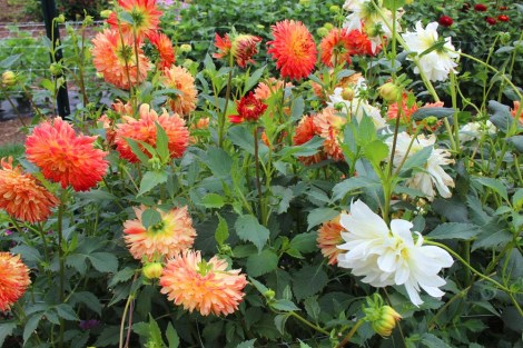 Amish Country, Beilers Farm org dahlias