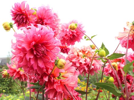 Amish Country, Beilers Farm pink dahlias