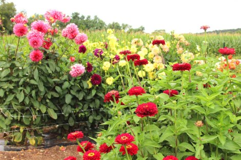Amish Country, Beilers Farm zinnias, dahlias